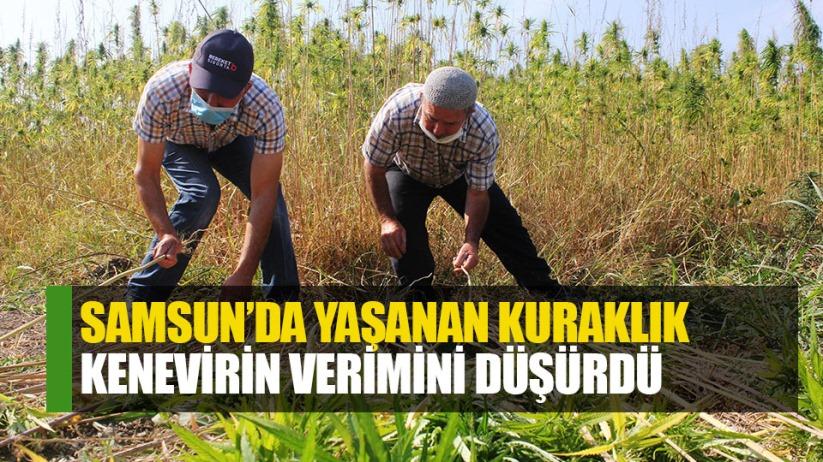 Samsun'da kuraklık kenevirin verimini düyürdü