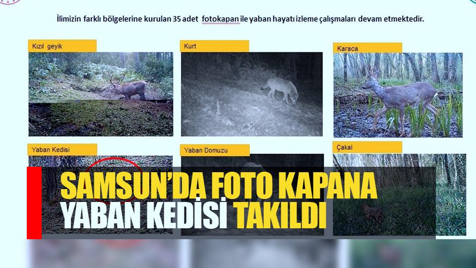Samsun'da fotokapana yaban kedisi yakalandı